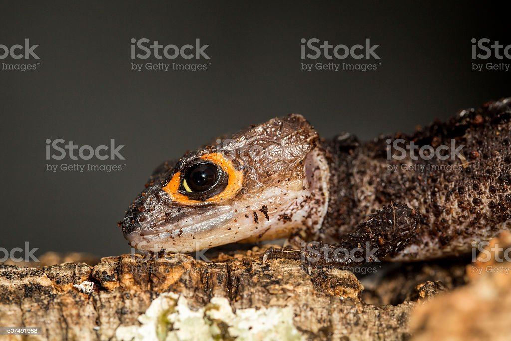 Head of a red eyed crocodile skink stock photo