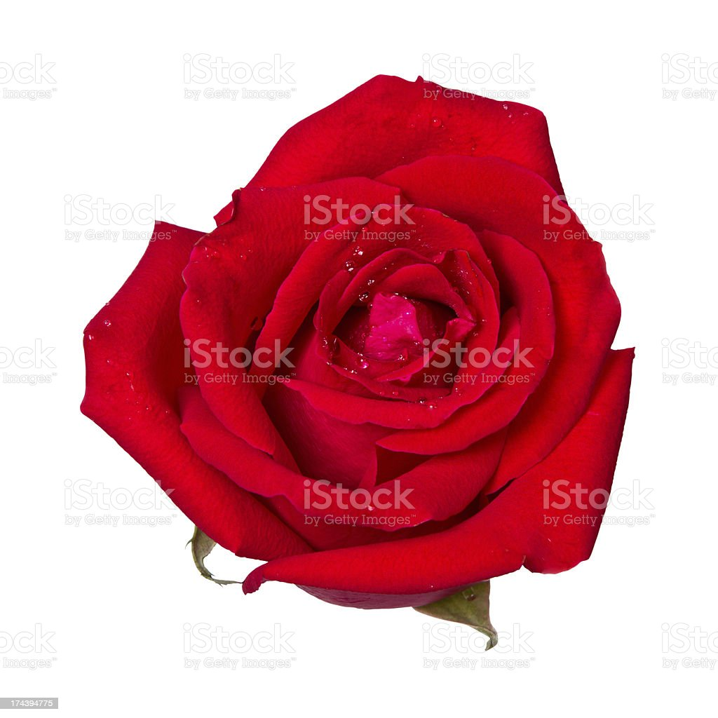 Head of a red rose isolated on a white background stock photo