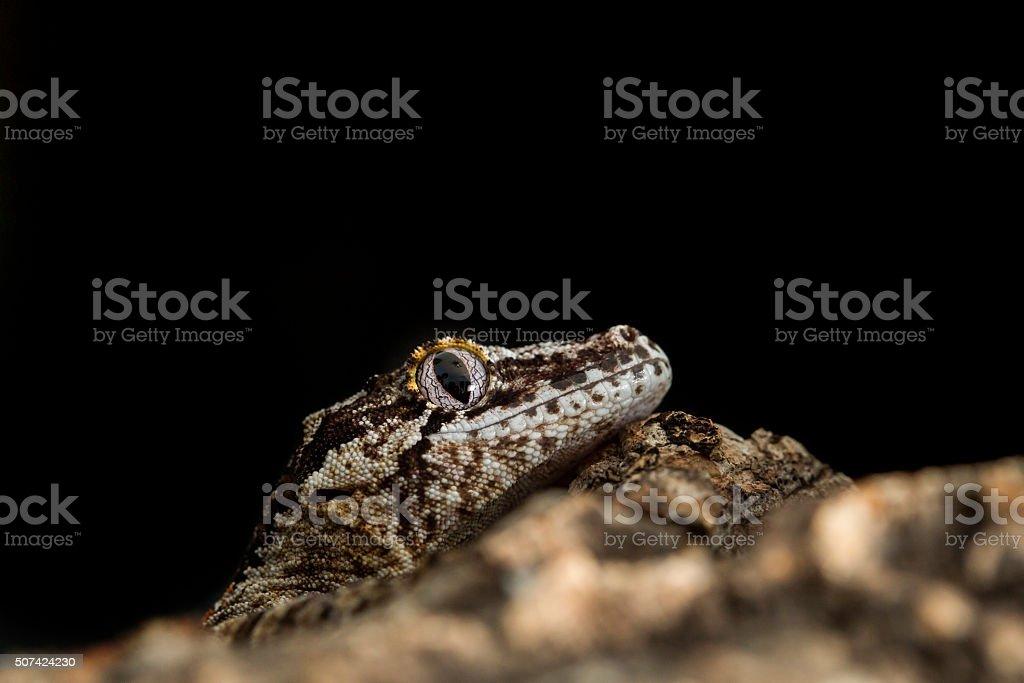 Head of a reticulated Gargoyle gecko stock photo