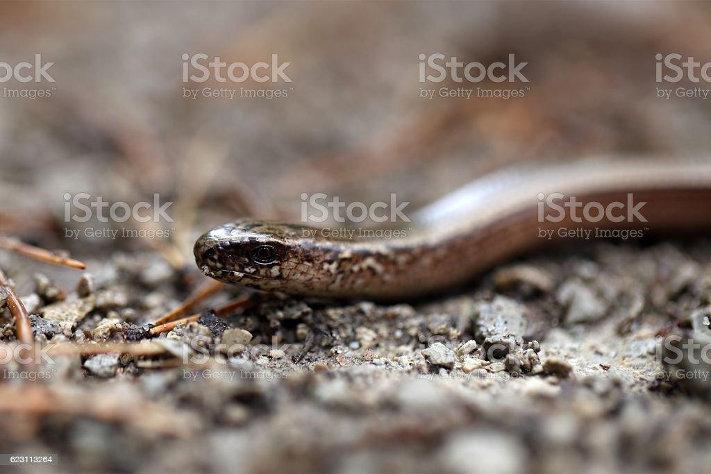 Head of a Slowworm stock photo