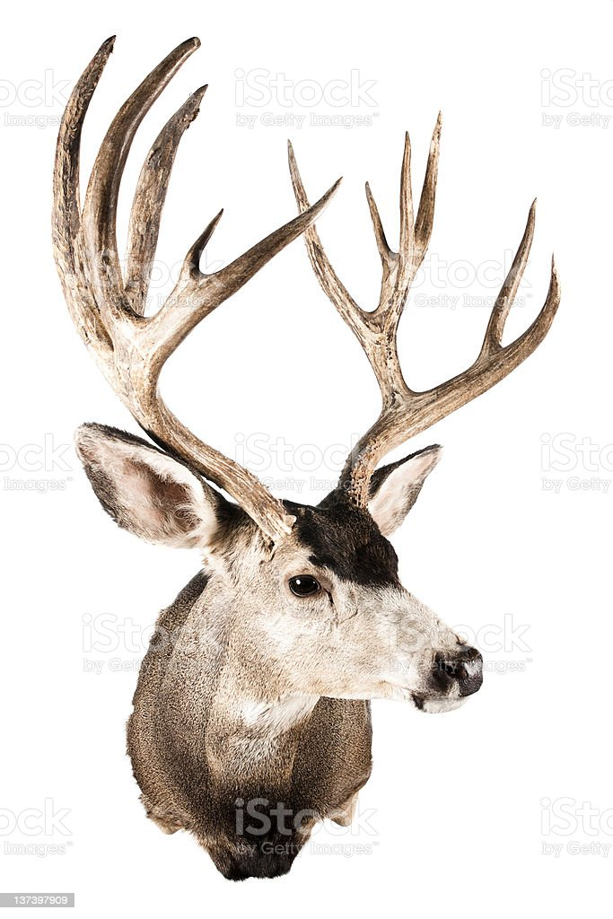 Head of a stuffed deer for house ornament stock photo