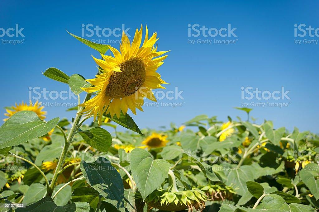 Kopf einer Sonnenblume auf dem Himmel Hintergrund Lizenzfreies stock-foto