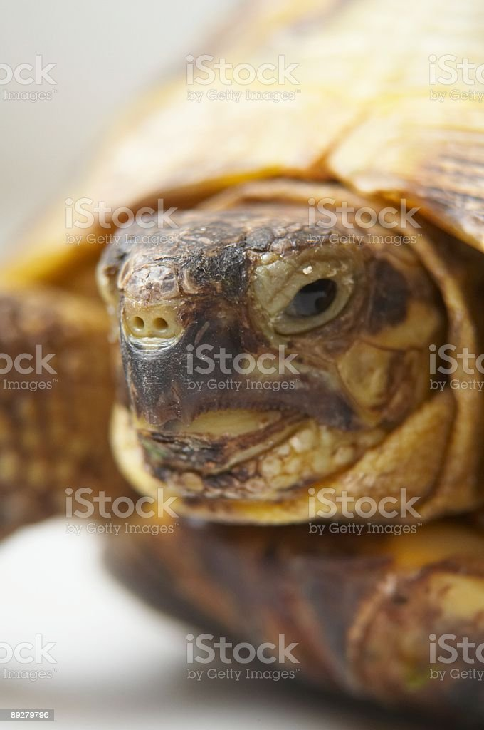 head of a turtle (close-up) royalty-free stock photo