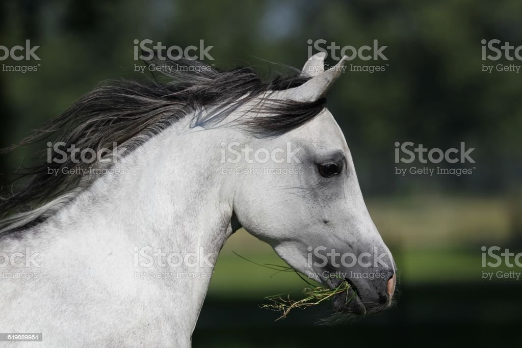 Head of a white horse eating grass while running stock photo