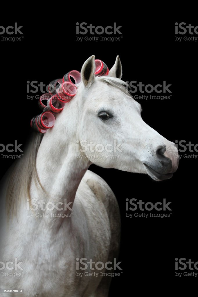 Head of a white horse with red curlers on black background stock photo