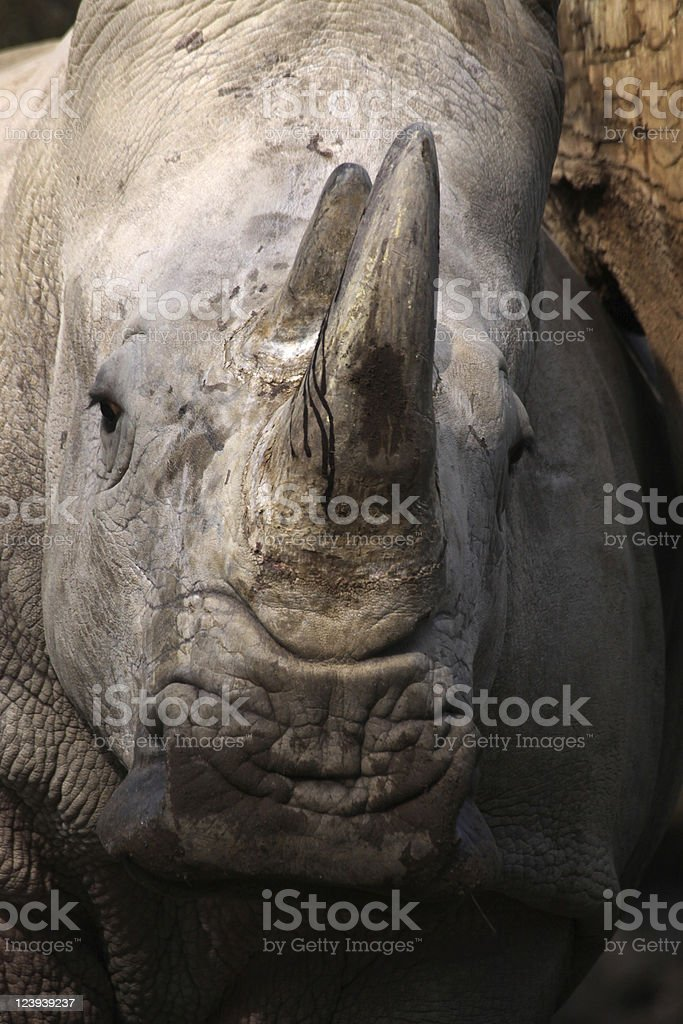 Head of a white rhinoceros viewed from the front stock photo