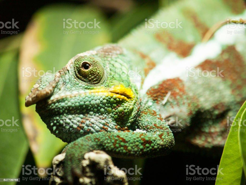 Head of adult Yemen chameleon - Chameleo calyptratus stock photo
