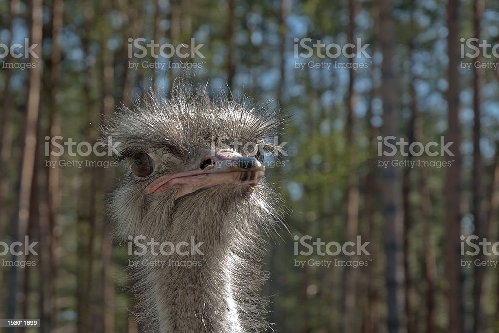 Head of African male ostrich fullface picture against forest background. royalty-free stock photo
