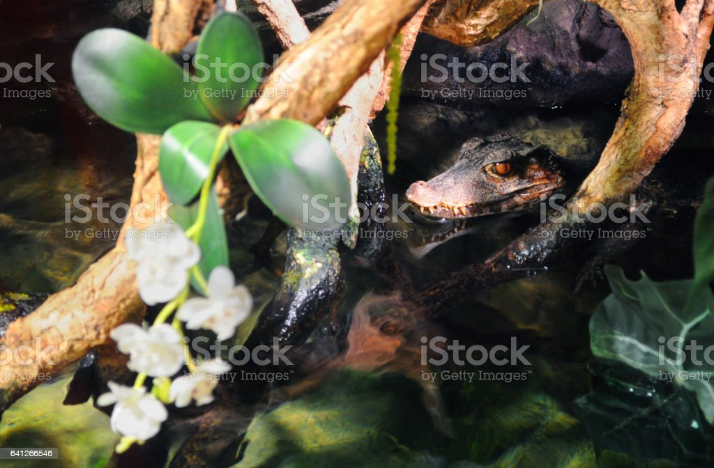 Head of an alligator lurking in the water under orchid flowers stock photo