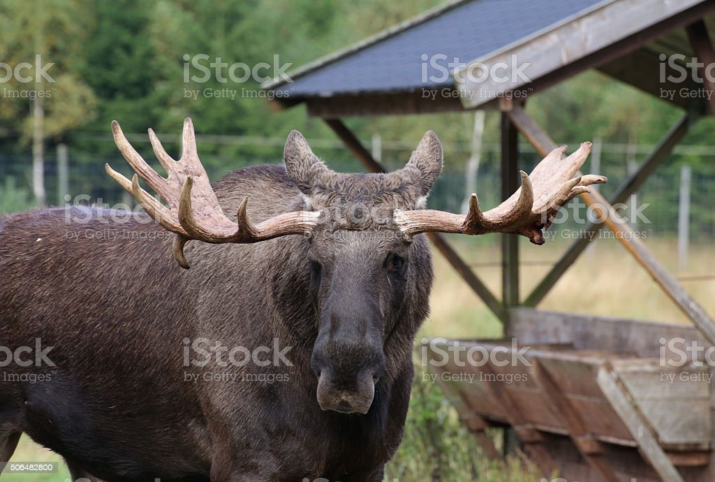Head of an elk (Alces alces) with mighty antlers stock photo