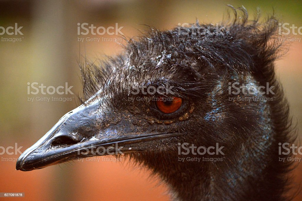 Head of an Emu stock photo