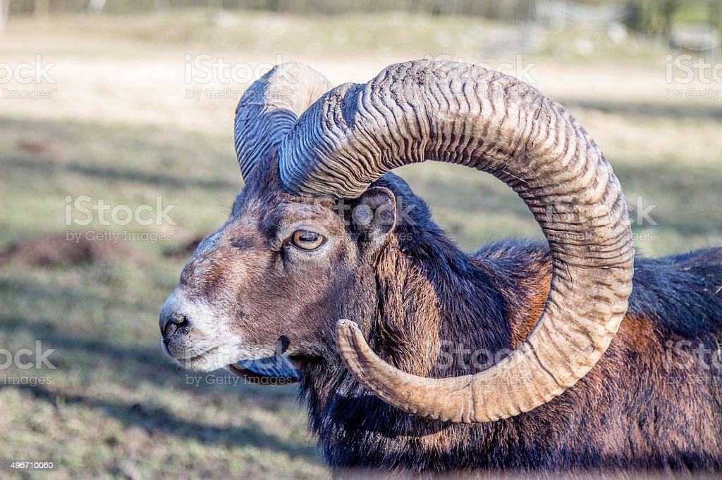 Head of an European Mouflon stock photo