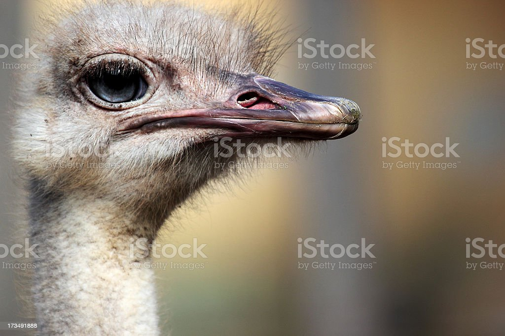 Head of an ostrich (Struthio camelus) royalty-free stock photo