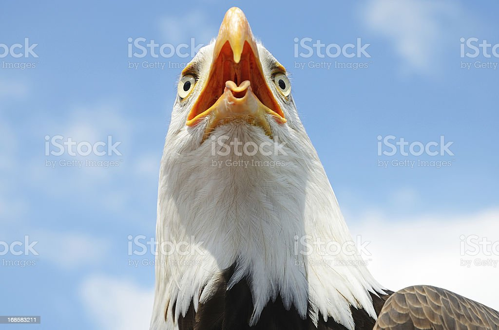Head of bald eagle with open beak royalty-free stock photo