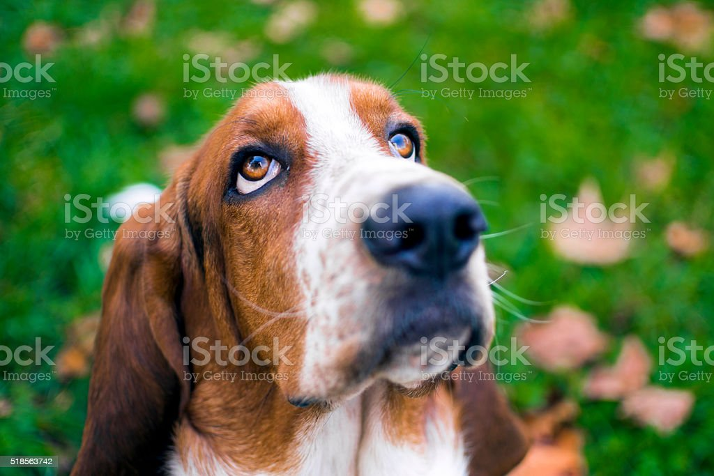 Head of Basset hound expression patience stock photo