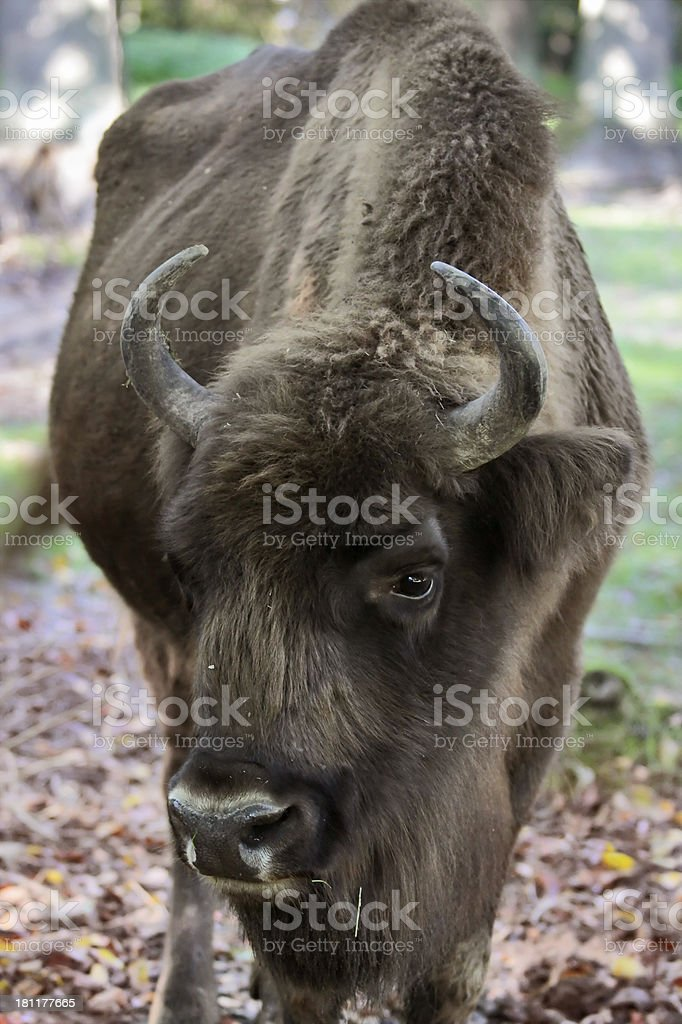Head of bison royalty-free stock photo