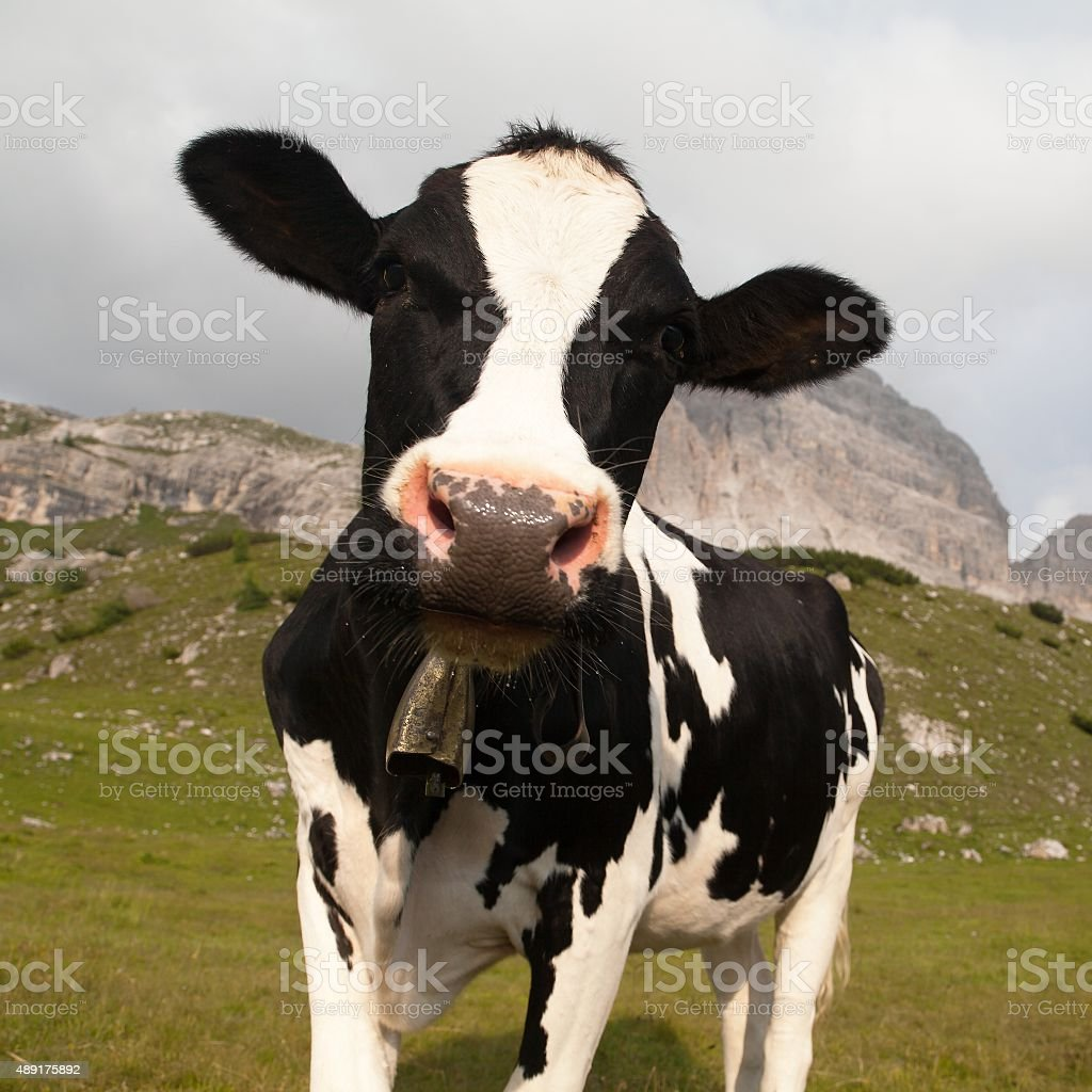 head of black and white cow with cowbell stock photo