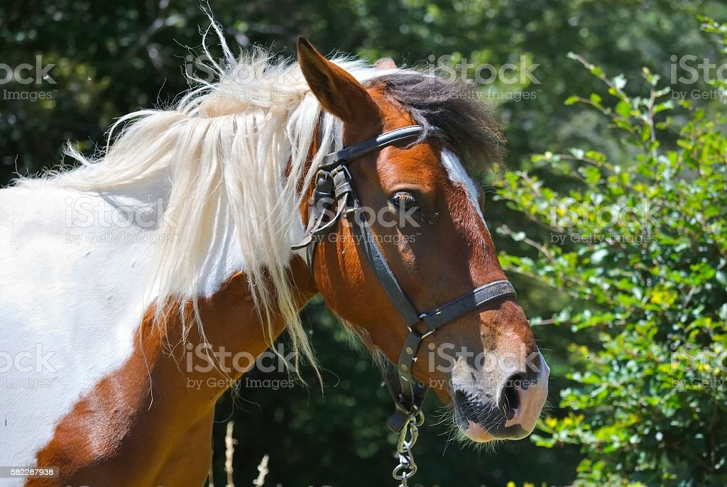 Head of brown and white horse stock photo