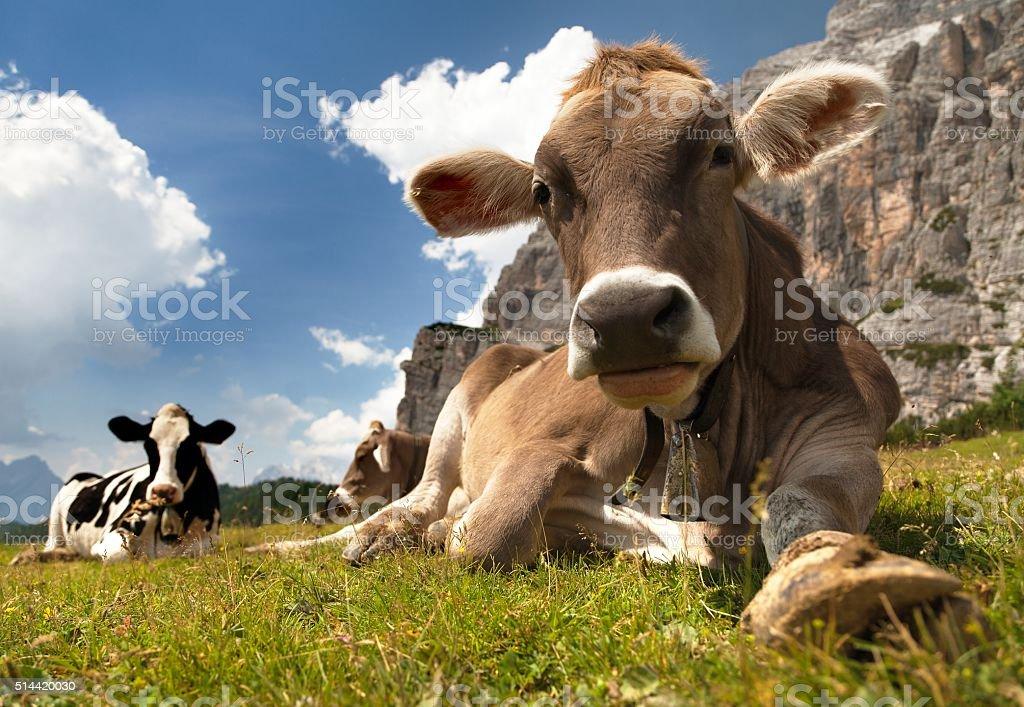 head of brown cow (bos primigenius taurus) stock photo