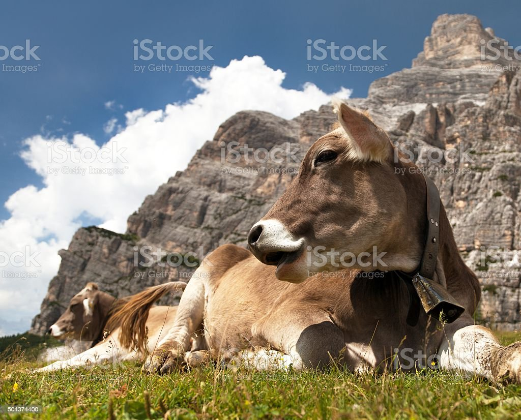 head of brown cow with cowbell under Monte Pelmo stock photo
