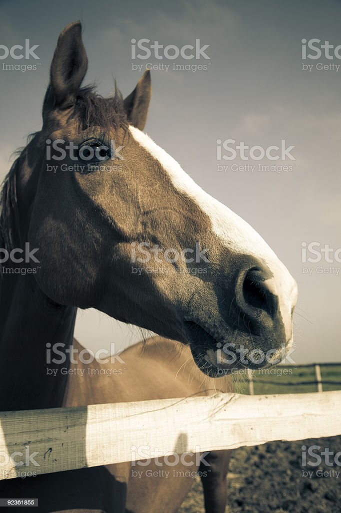 head of brown horse / vintage toned royalty-free stock photo