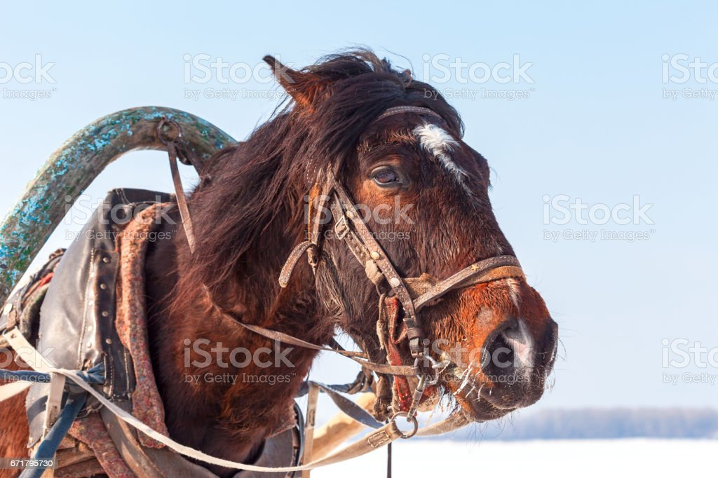 Head of brown horse with harness in winter sunny day. Riding on a horse stock photo