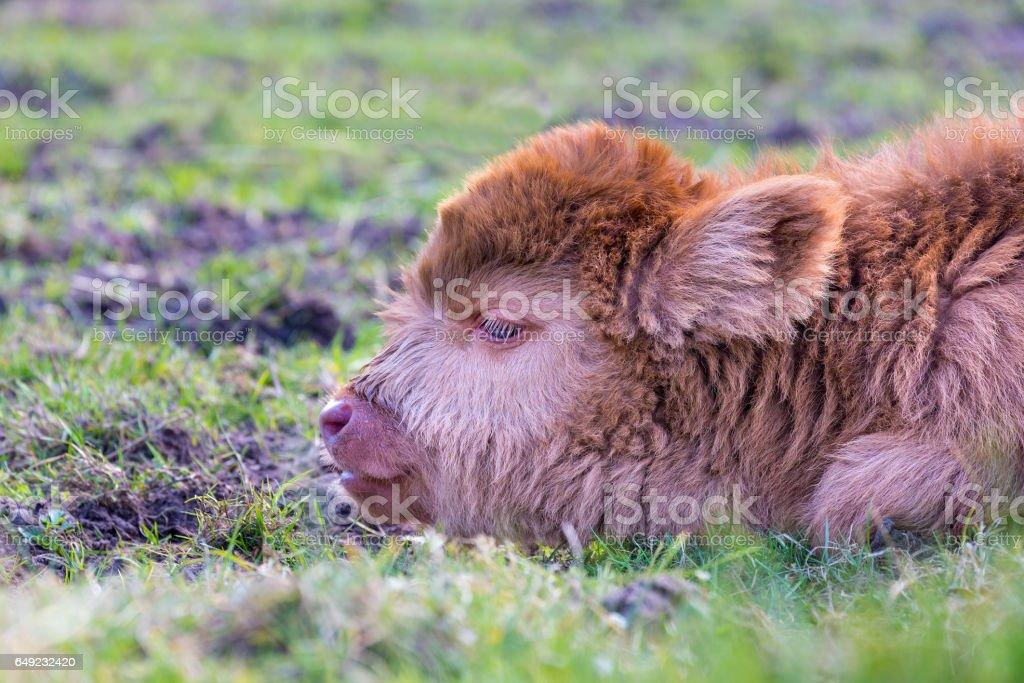 Head of brown newborn scottish highlander calf stock photo