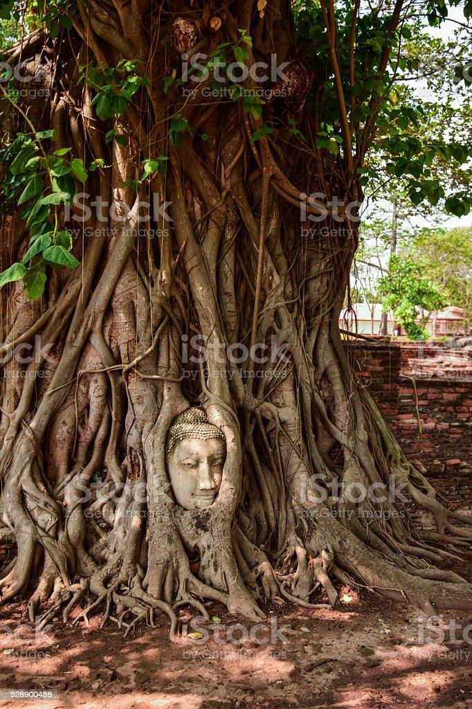 Head of buddha in tree root stock photo