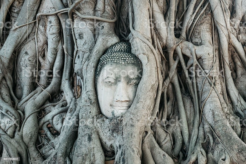 Head of Buddha statue in the tree roots in Ayutthaya Thailand stock photo