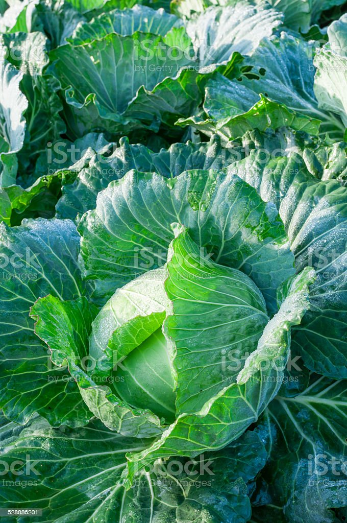 head of cabbage in the vegetable garden stock photo