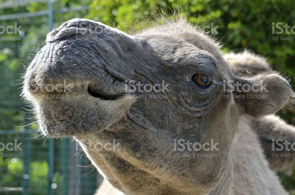 Head of Camel in close up royalty-free stock photo