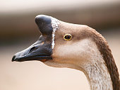 Head of chinese goose with typical basal knob