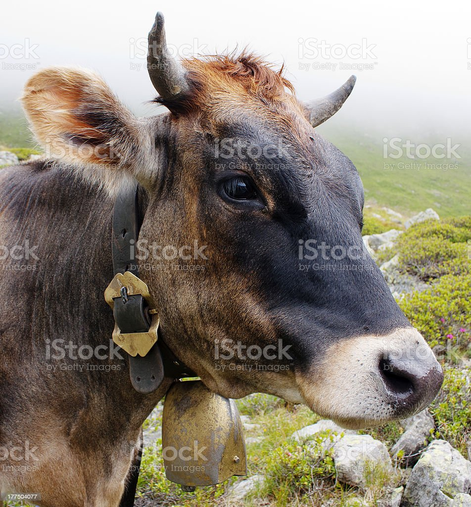 head of cow royalty-free stock photo
