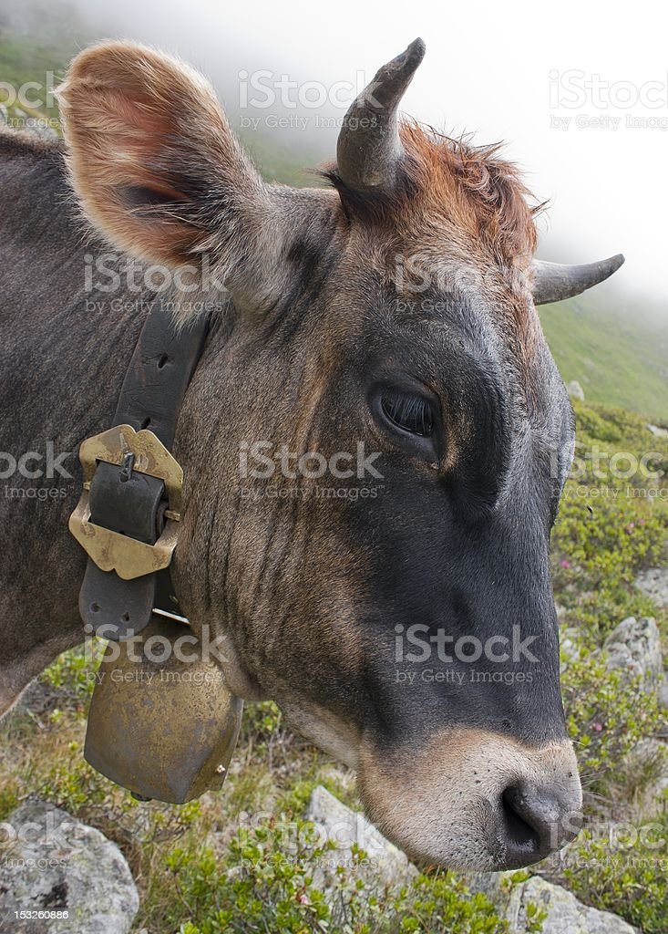 head of cow (bos primigenius taurus), with cowbell royalty-free stock photo
