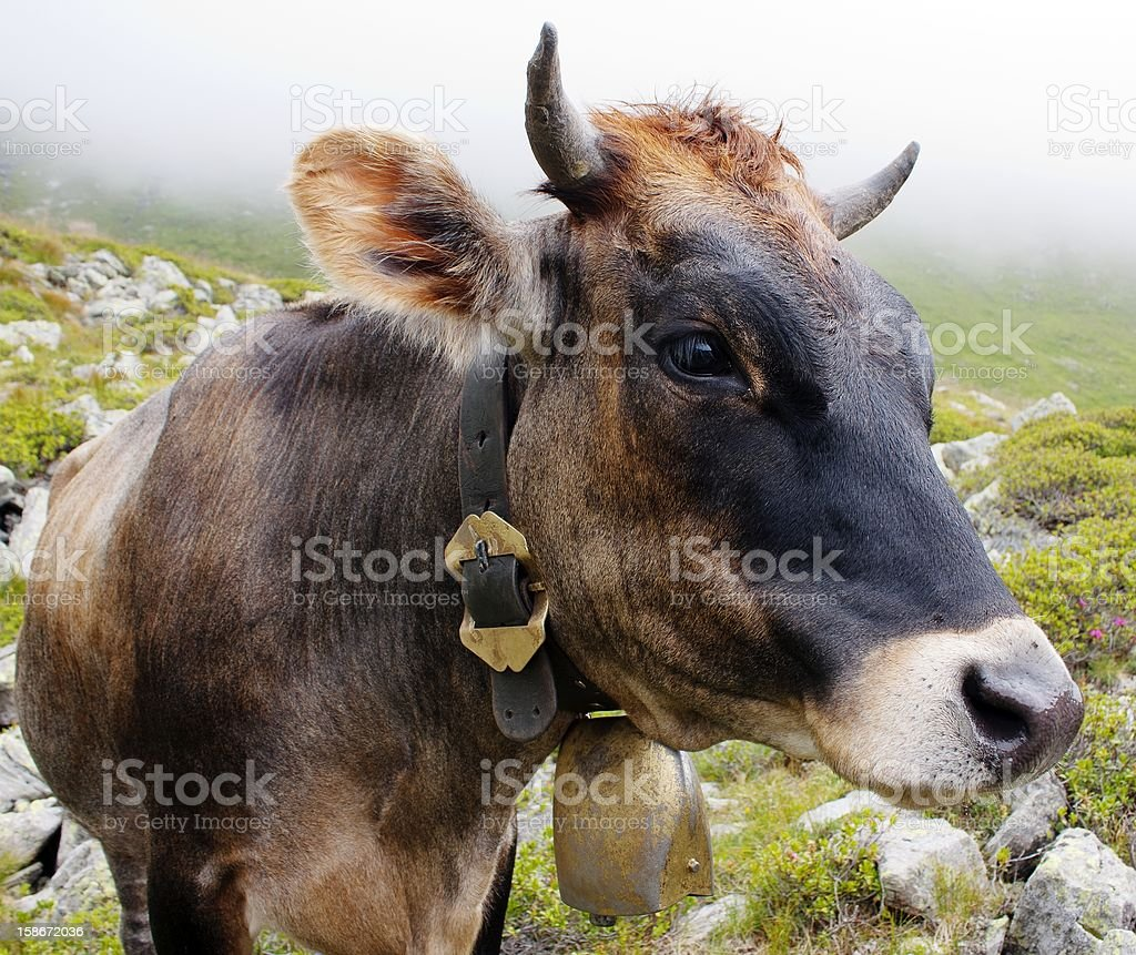head of cow with cowbell royalty-free stock photo