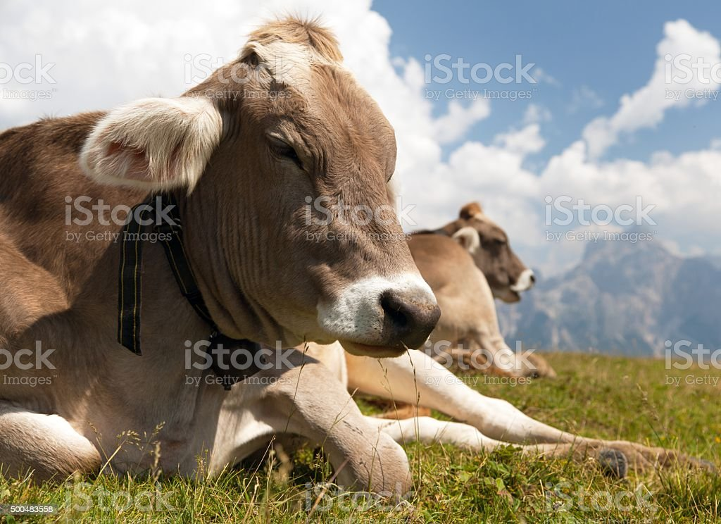 head of cow (bos primigenius taurus), with cowbell stock photo