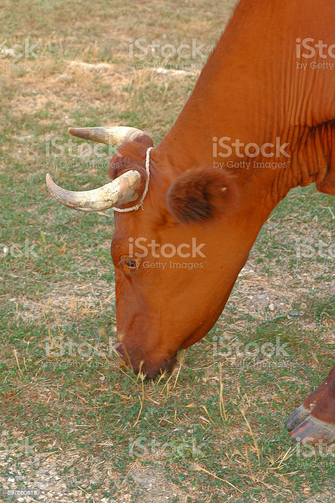 Head of Cows grazing on a low grade pasture stock photo