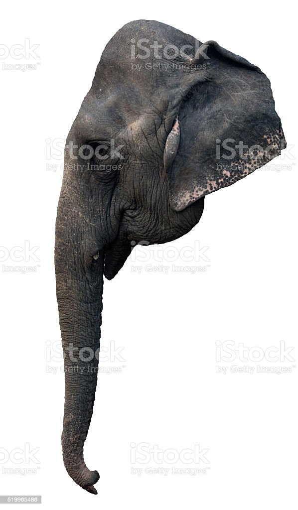 head of elephant stock photo