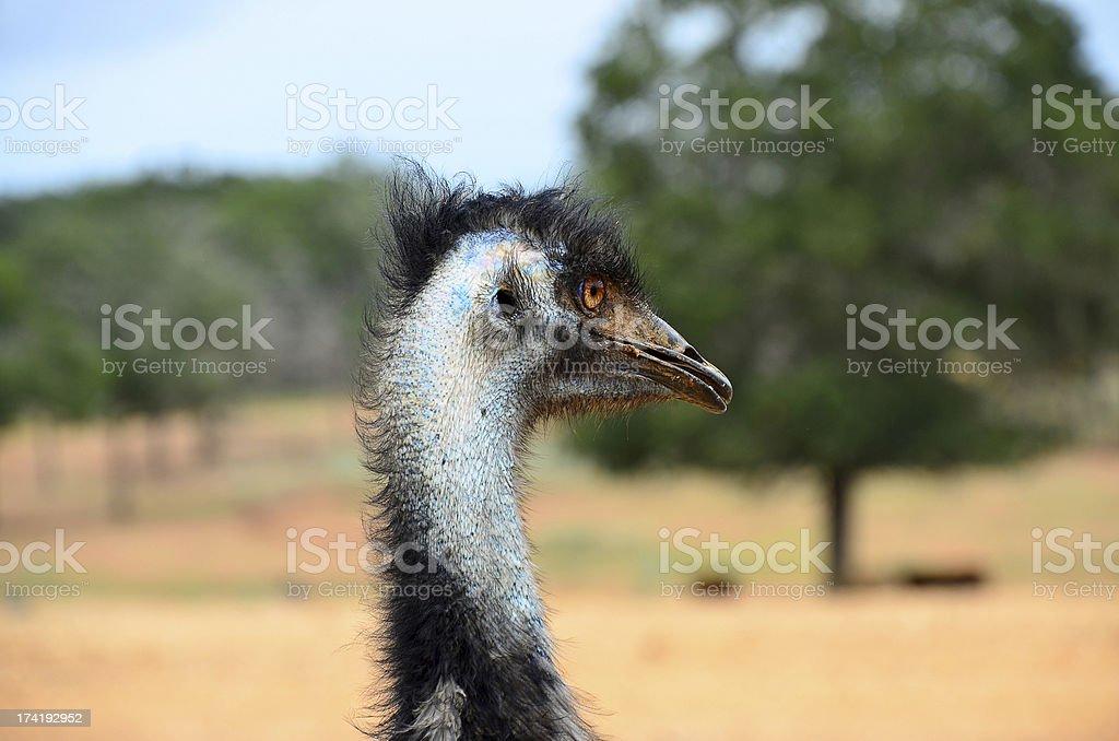 Head of Emu (Dromaius novaehollandiae) royalty-free stock photo