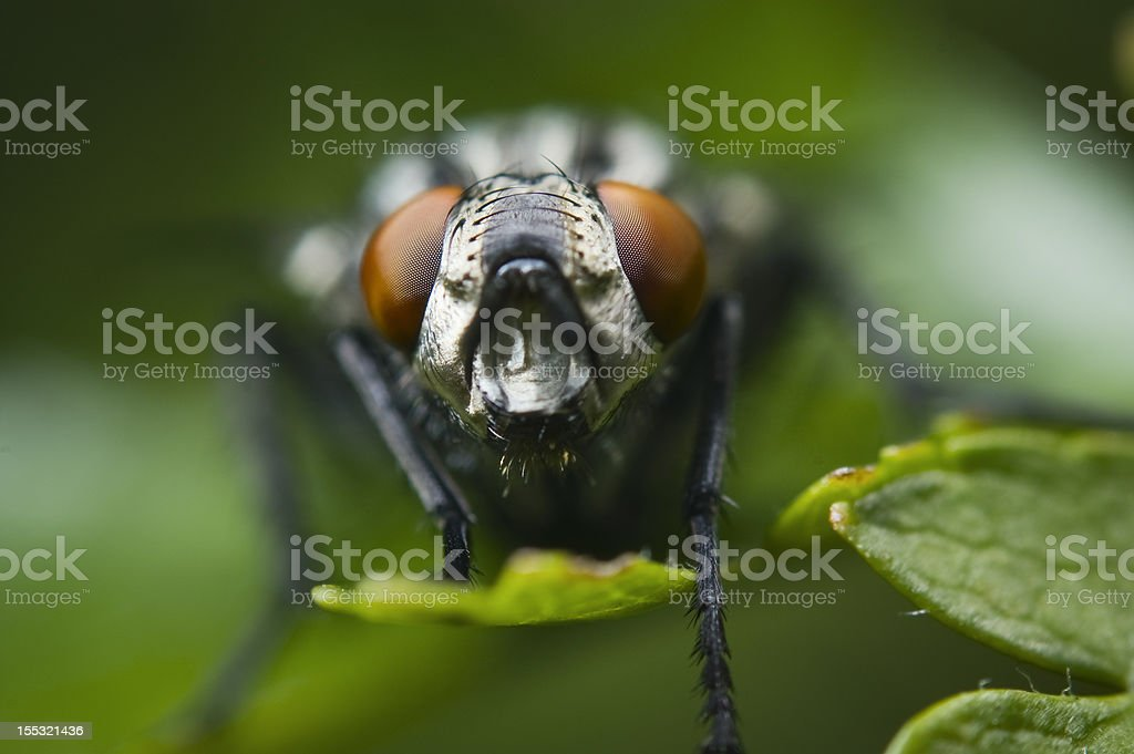 head of fly royalty-free stock photo