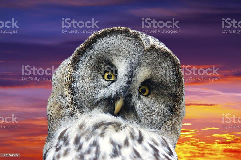 Head of great Gray Owl royalty-free stock photo