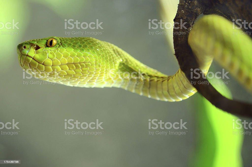Head of Green Tree Python  Snake royalty-free stock photo
