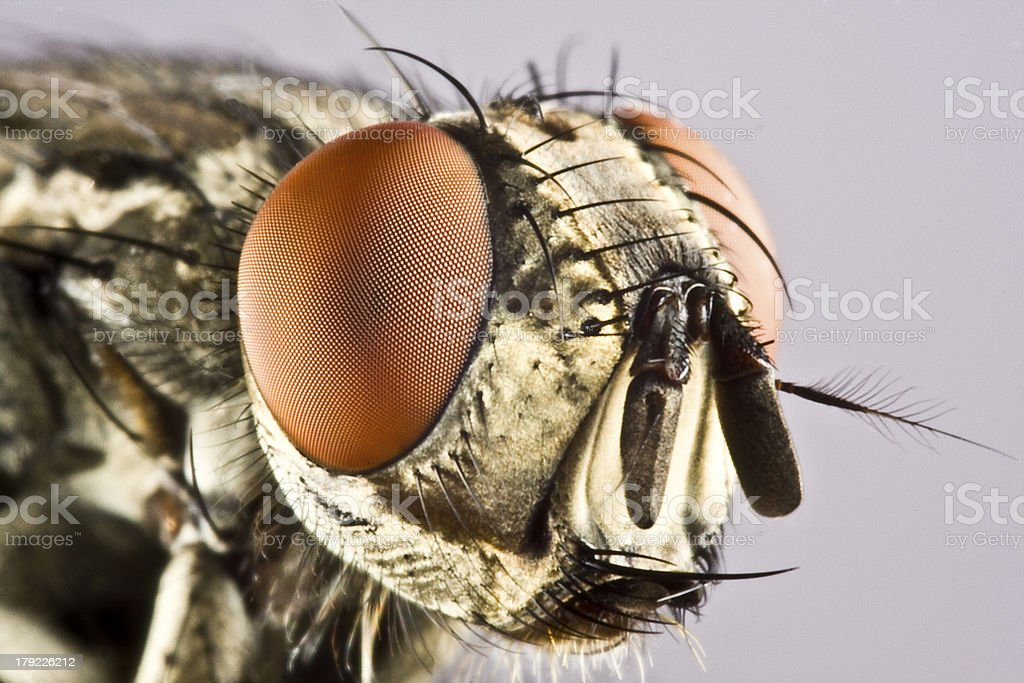 Head of horse fly with huge compound eye stock photo