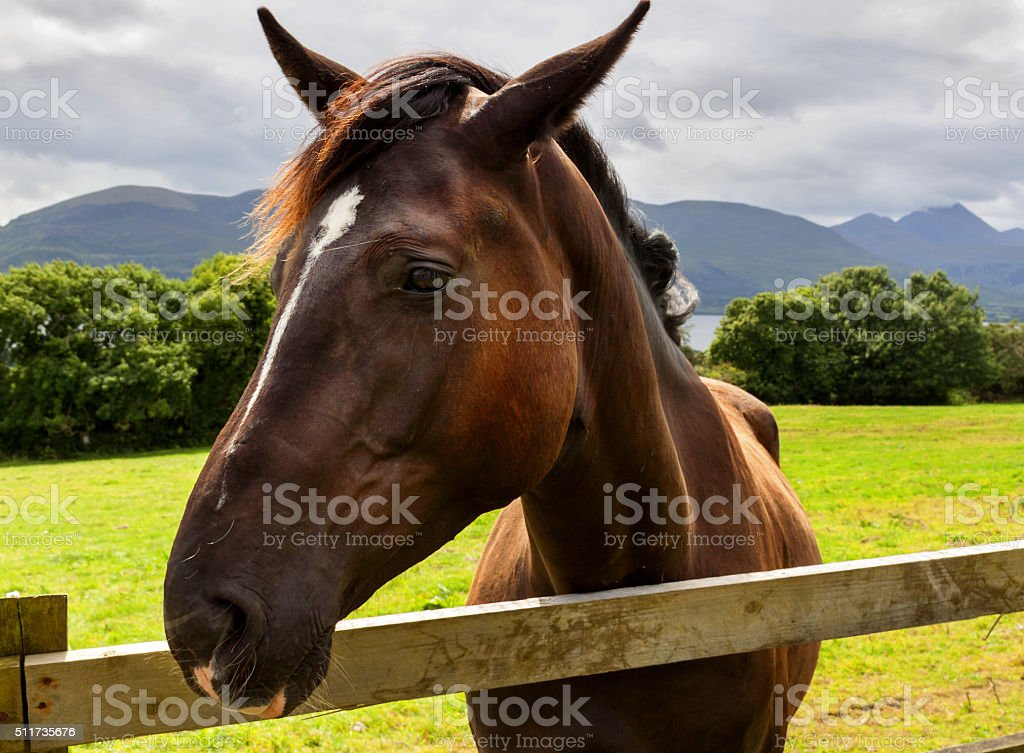 Head of horse on the meadow stock photo