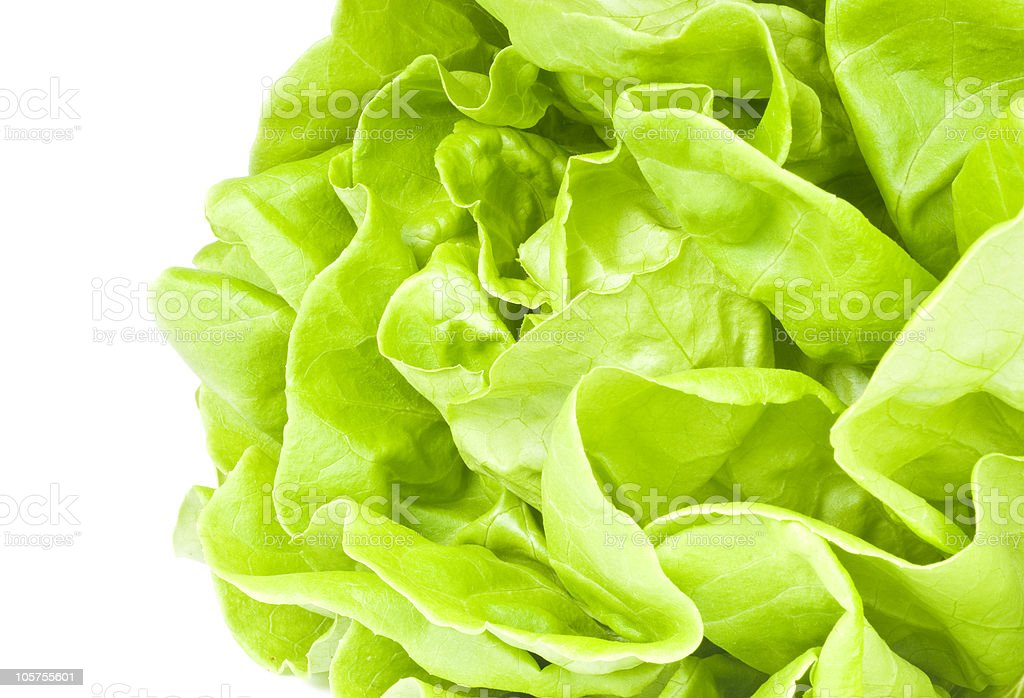Head of Hydroponic Lettuce royalty-free stock photo