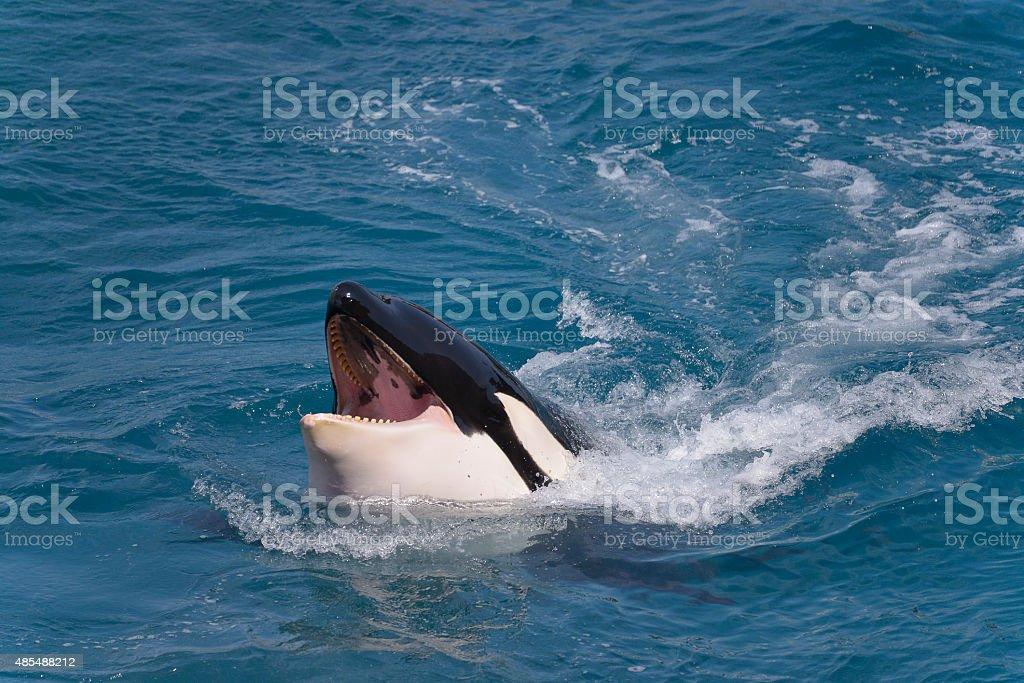 Head of killer whale stock photo