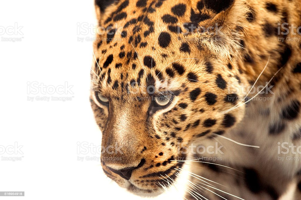 head of leopard isolated on white stock photo