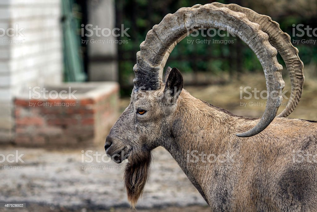 Head of mountain ram in profile at zoo in Ukraine stock photo