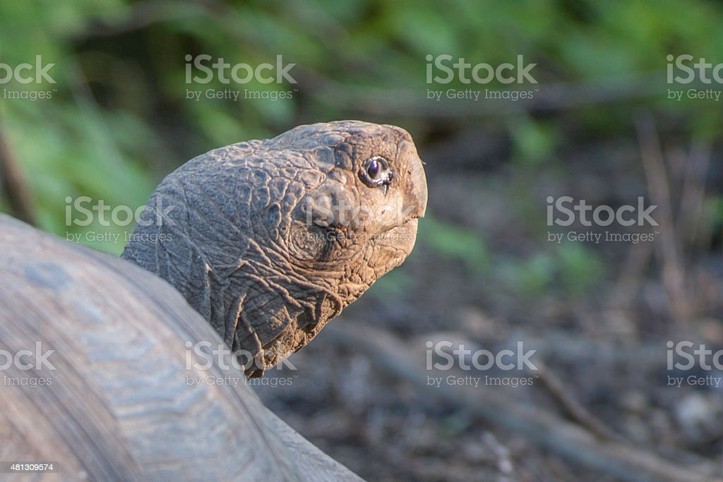 Head of old Galapagos Tortoise stock photo