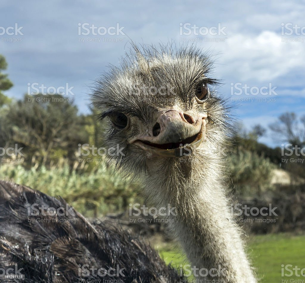 Head of ostrich in zoo royalty-free stock photo